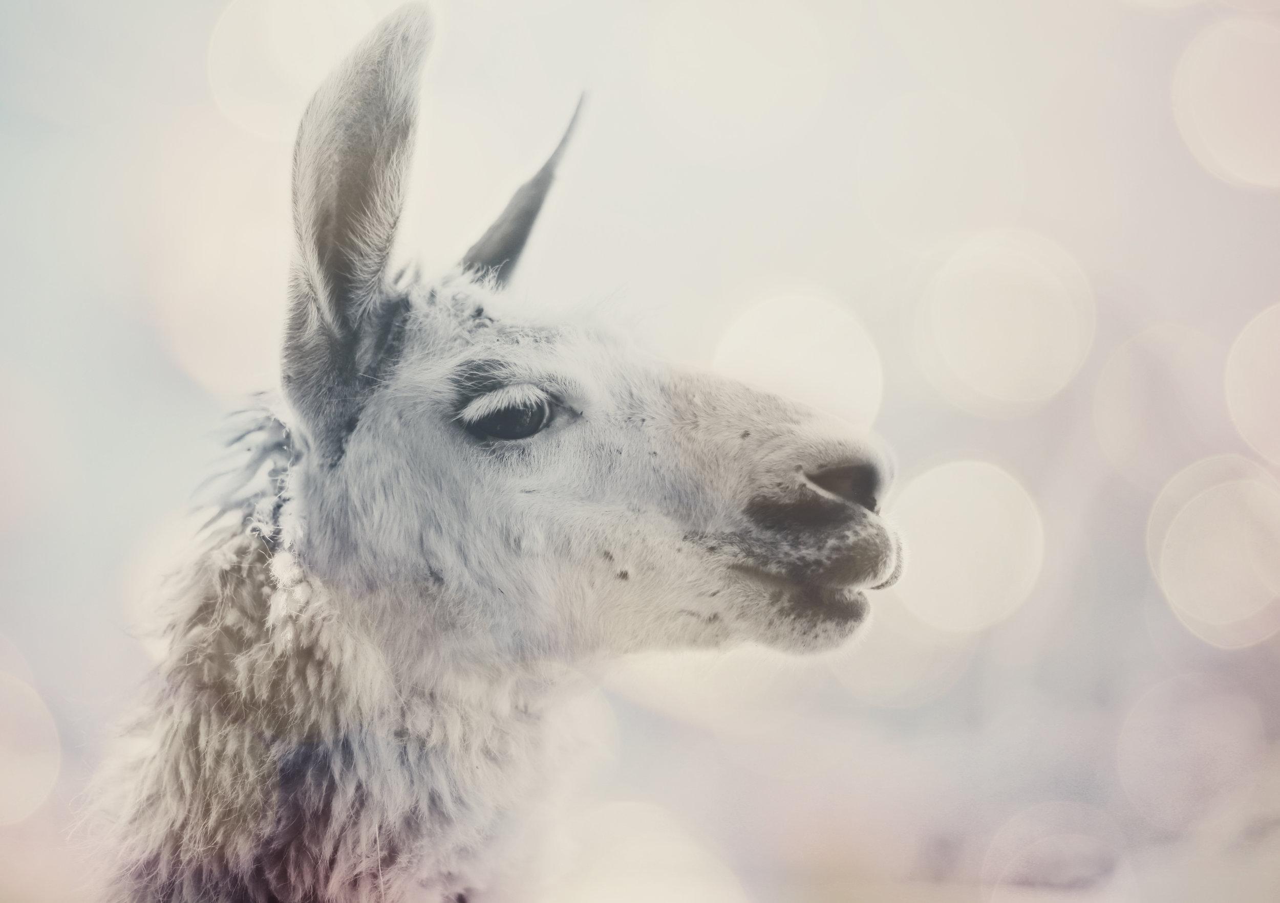 IMG_0122_alpaca_crop.jpg