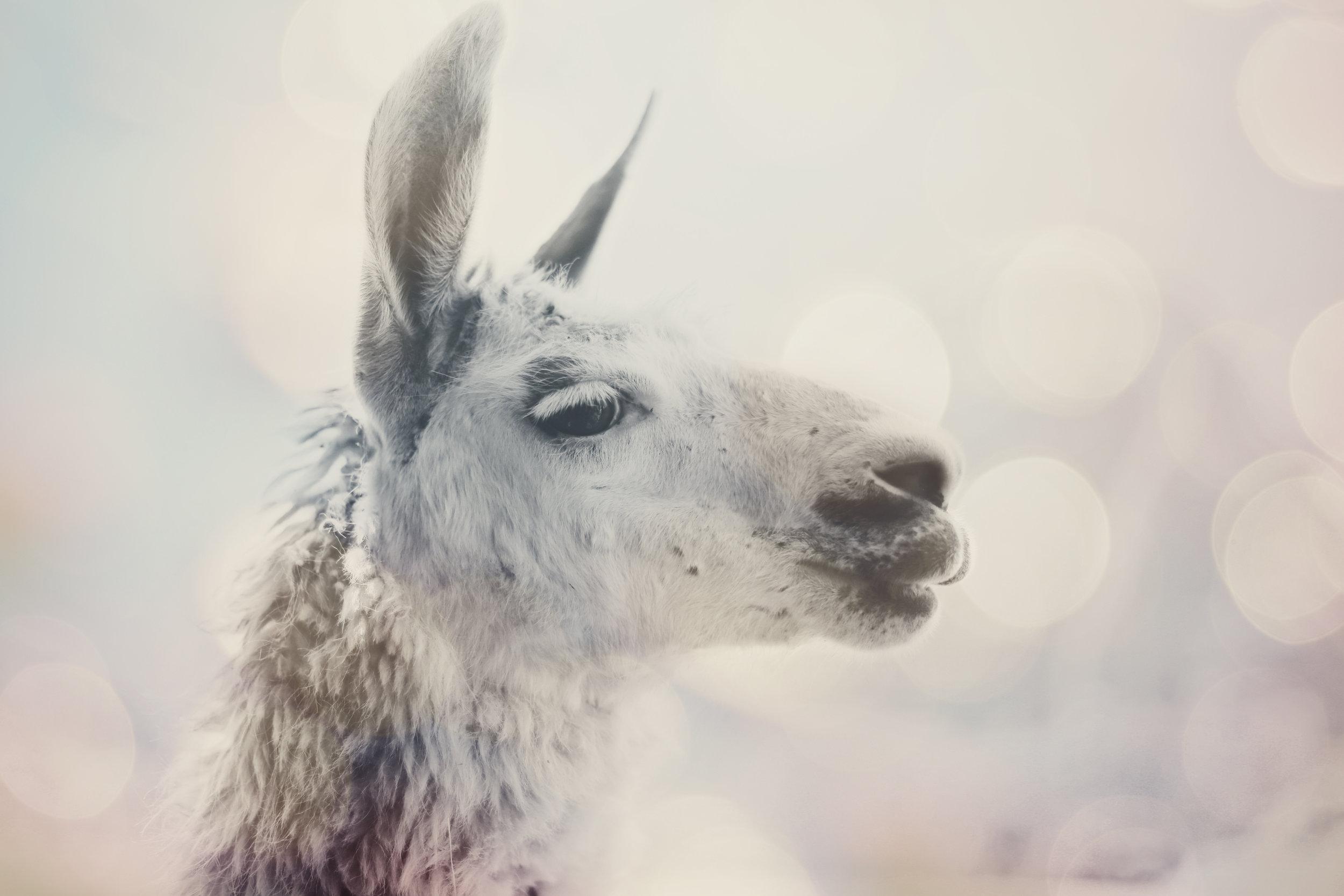 IMG_0122_alpaca.jpg