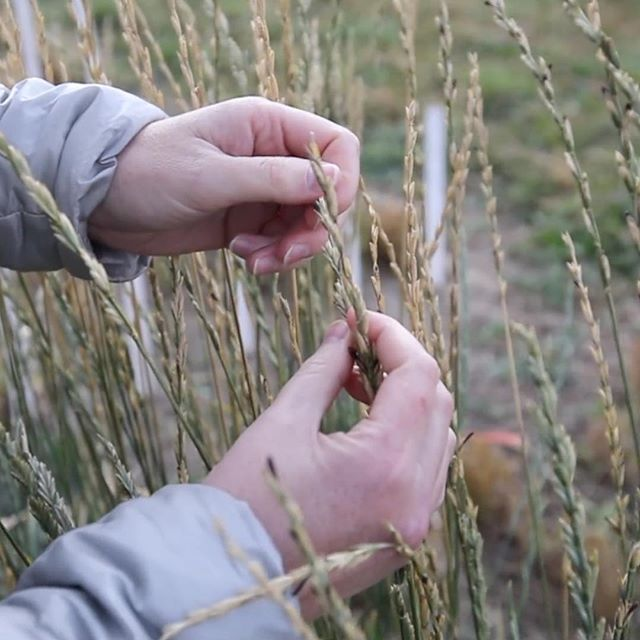 Our new documentary with @rocket_annie about data visualization will be finished post next month. We can't wait to show it. . . . #documentary #documentaryphotography #wheat #genetics #datavisualization #datascience #abcreates #lethbridge #research #art #uleth #gmo @thesaag