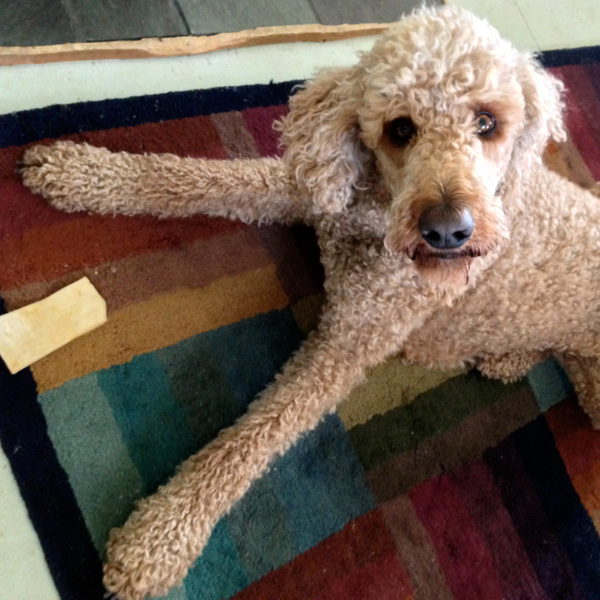 My very able bodied office assistant –Max the Poodle.  He's also good at  riding shotgun on delivery days, alerting me to visitors at the door,  and he is a natural anti-depressant!
