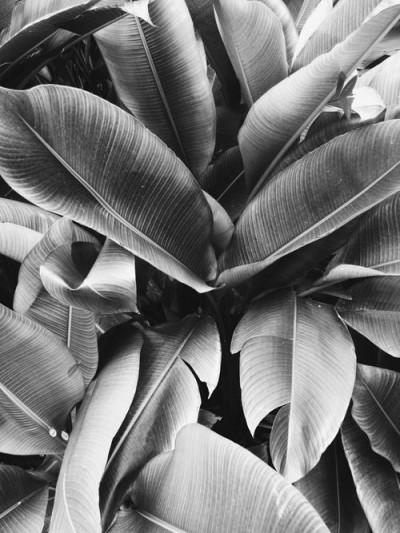 [[ Black and white banana leafs, via  The Shape of the Journey /// Des feuilles de bananiers en noir & blanc,  via  The Shape of the Journey ]]