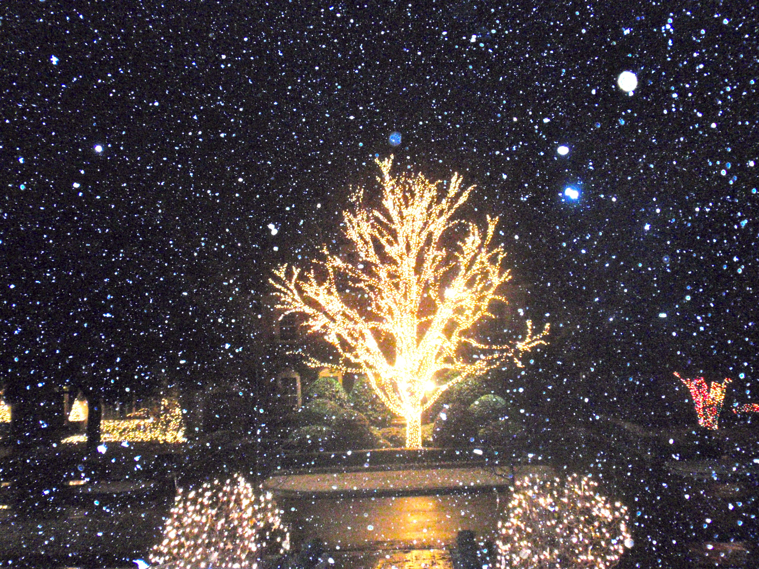The view from my front door: Sue & Jimmy's magnificent giant tree decked-out for the Holidays