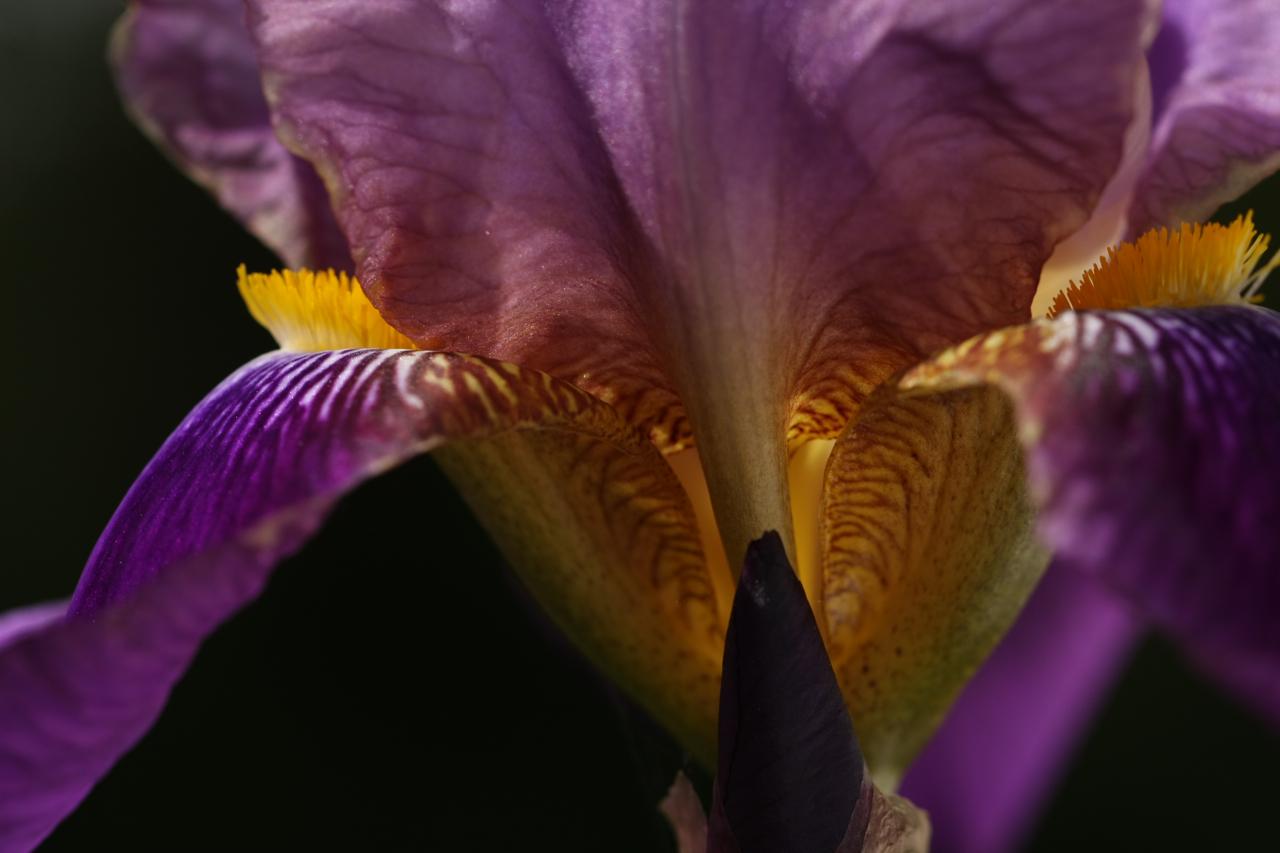 Iris 3