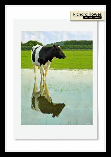Pondering Cow.jpg