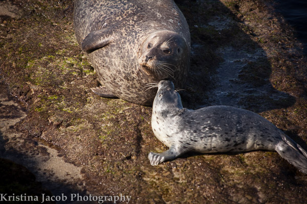 Harbor seal pup staying close to its mother  La Jolla, CA  January 2014