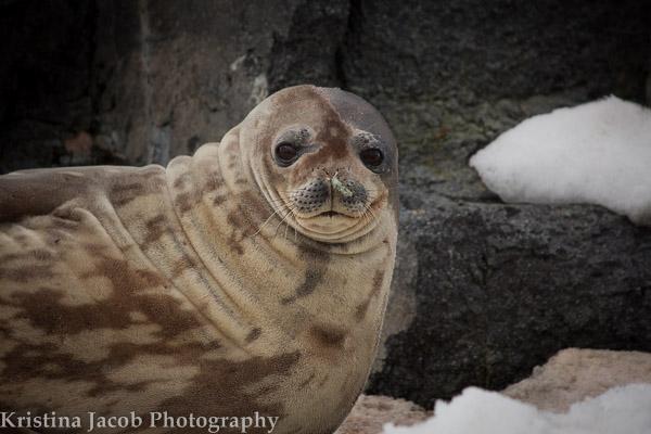 Weddell seal ( Leptonychotes weddelli)