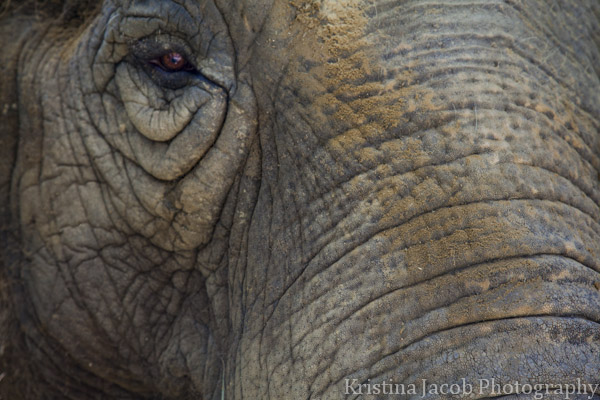 One of two female Asian elephants at the Santa Barbara Zoo.  Santa Barbara, CA  August 2013