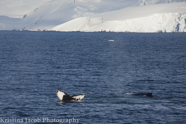 Humpback whales in Dallmann Bay, Antarctica