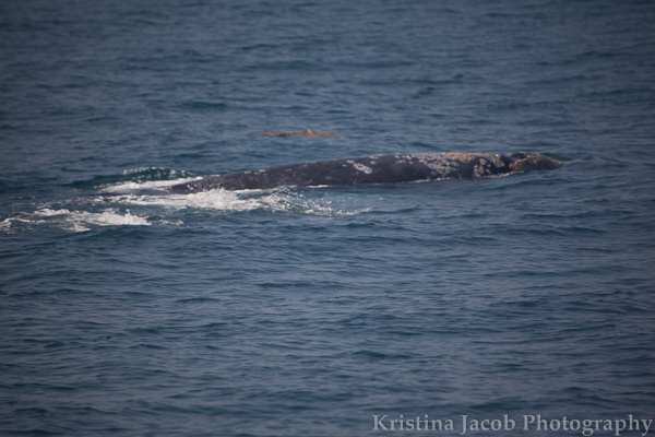 ChannelIslandsWhales-2519_low.jpg