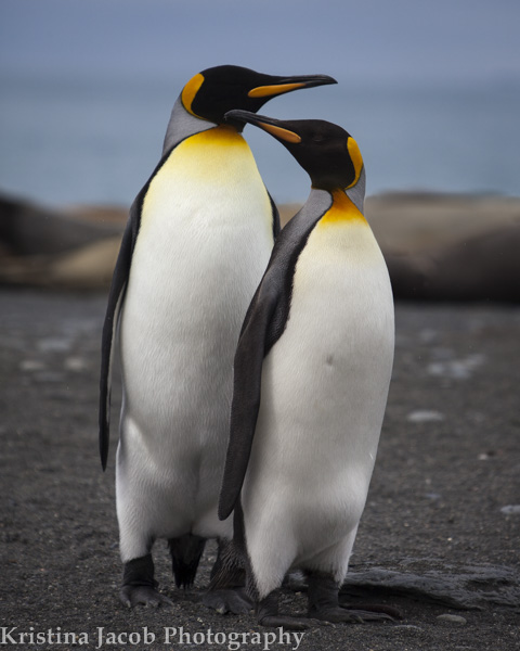 A King penguin couple on the beach in South Georgia.
