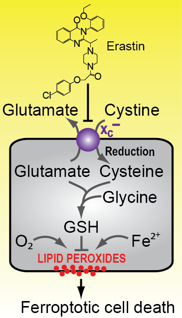A working model of the ferroptotic pathway.  Erastin somehow inhibits the function of the system xc- cystine/glutamate transporter.  This in turn results in the depletion of intracellular cysteine.  Cysteine is rate-limiting for the synthesis of reduced glutathione (GSH), a key intracellular antioxidant molecule.  Thus, inhibition of system xc- eventually leads to the depletion of GSH and the iron-dependent accumulation of toxic lipid ROS.