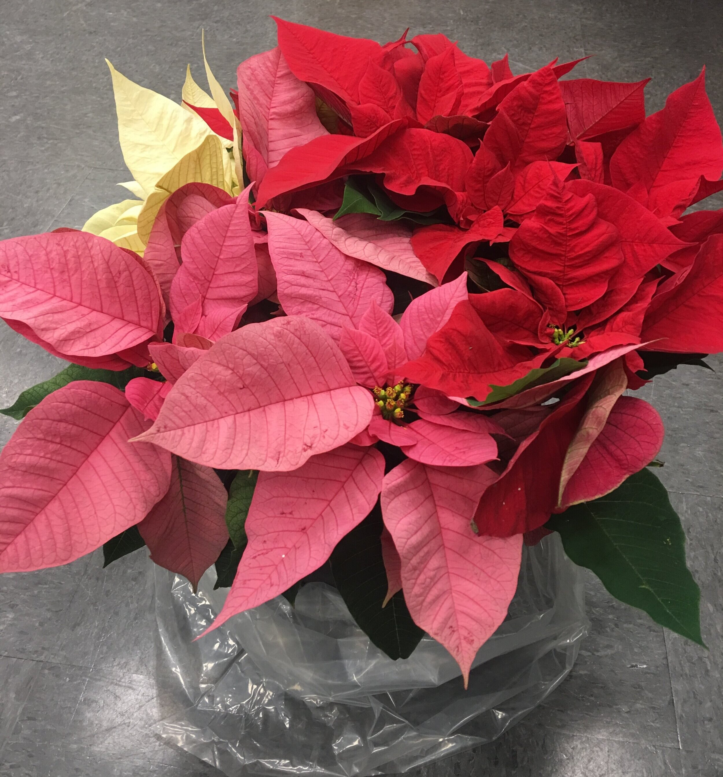 From last year's delivery, this is a 13.5 Tri-colour Poinsettia.