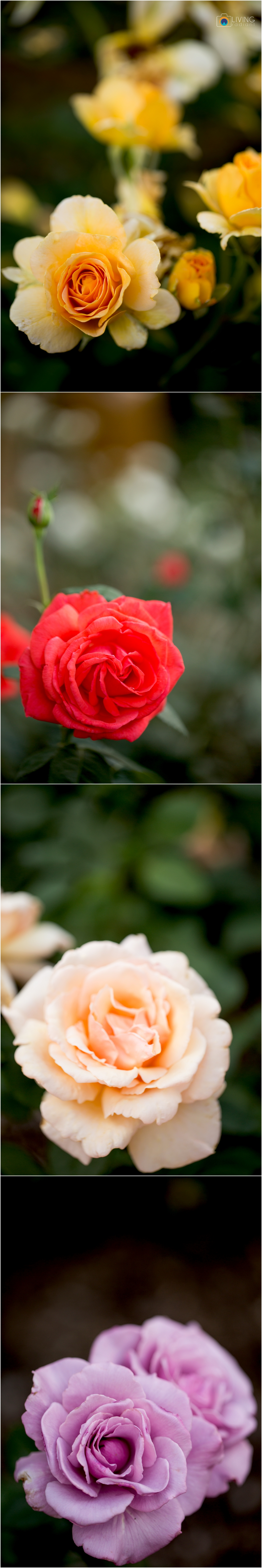 melissa-chris-brookside-gardens-engagement-session-outdoor-gardens-living-radiant-photography-maggie-patrick-nolan_0033.jpg