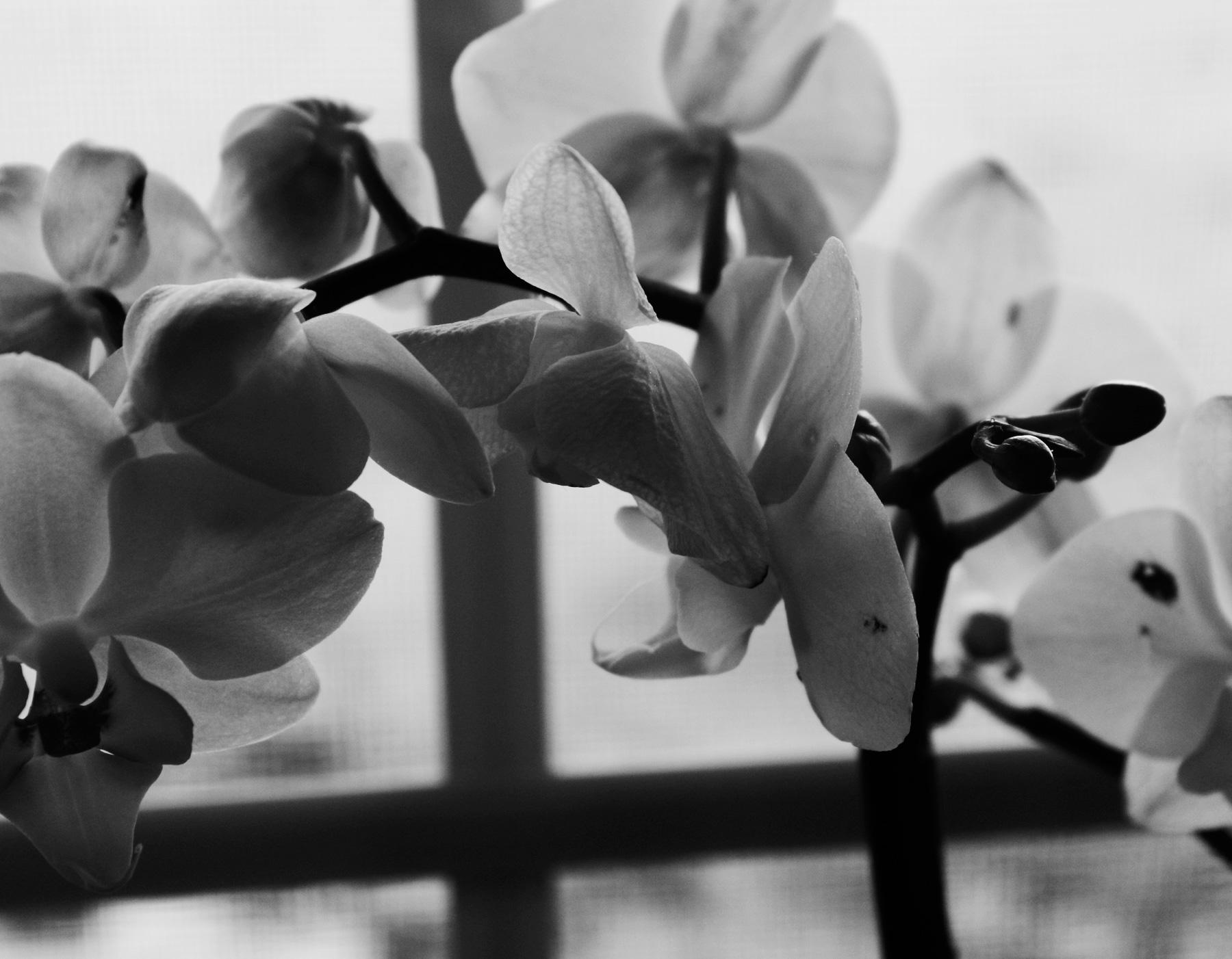 _MG_2430orchids1.jpg