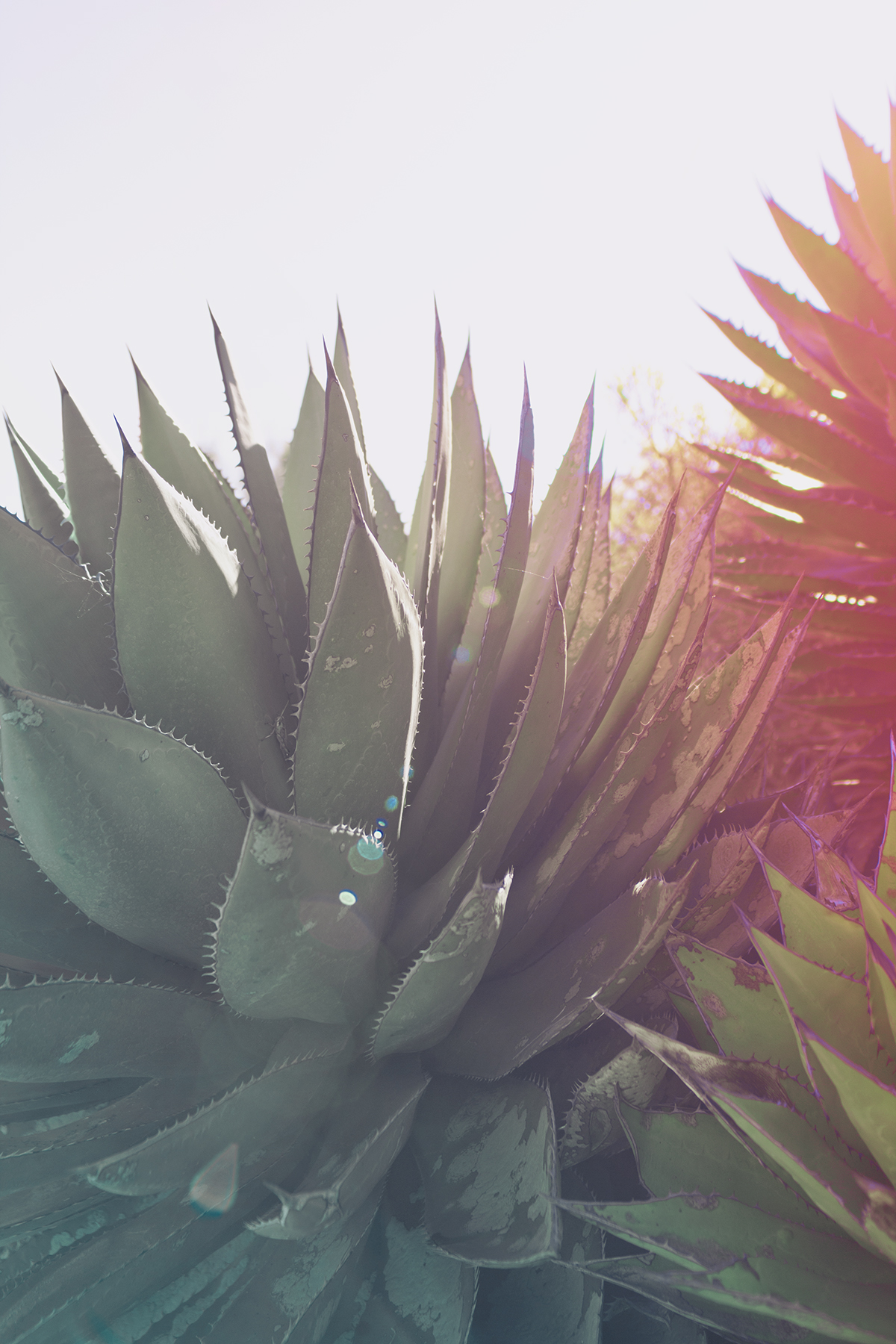 green-pink-cactus-colored.jpg