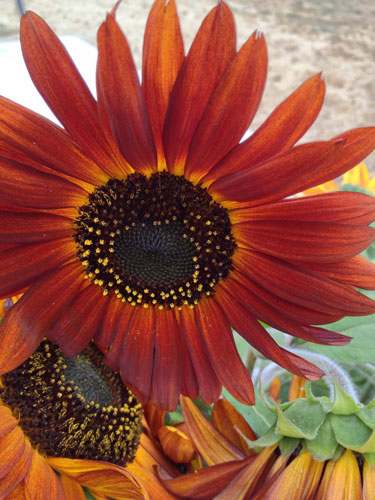 red-sunflower-500.jpg