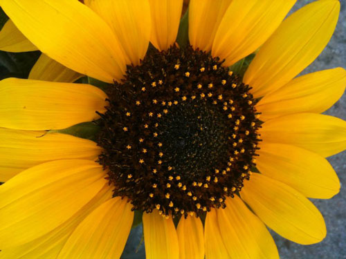 sunflower-organic-templeton-farms-500.jpg