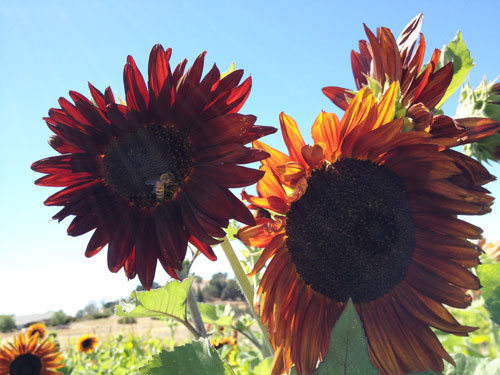 sunflowers-bee.jpg