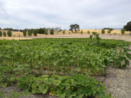 crops-organic-templeton-farms-500.jpg