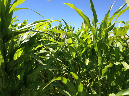 corn-crop-close.jpg