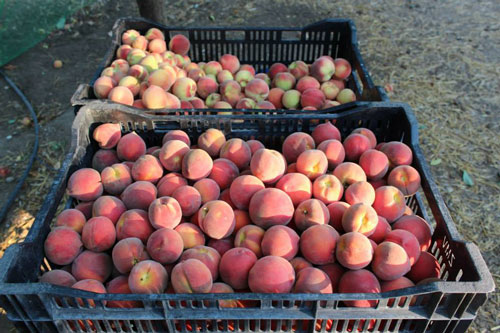 TVF-more2-peaches-organic.jpg