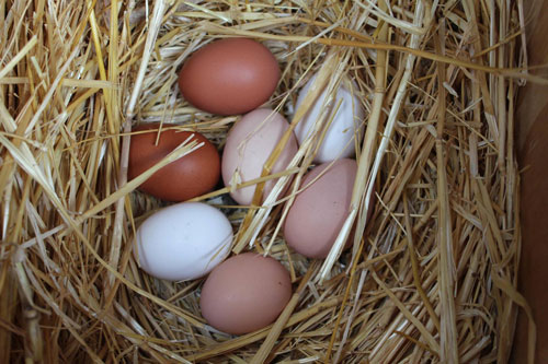 TVF-chicken-eggs-organic.jpg