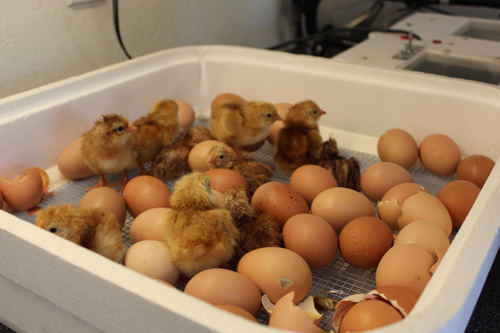 TVF-chicks-hatched.jpg