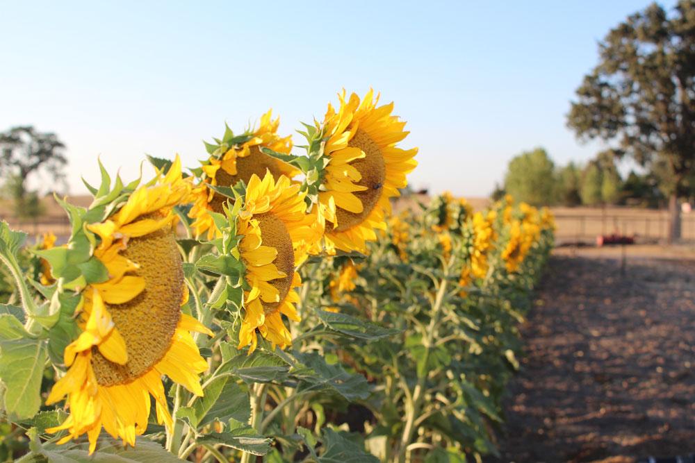 sunflowers-many.jpg
