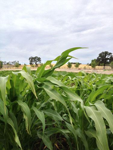 corn-500.jpg