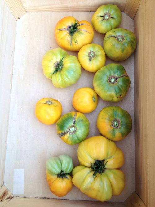 tomatoes-yellow.jpg