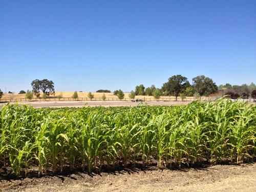 corn-crop-organic.jpg