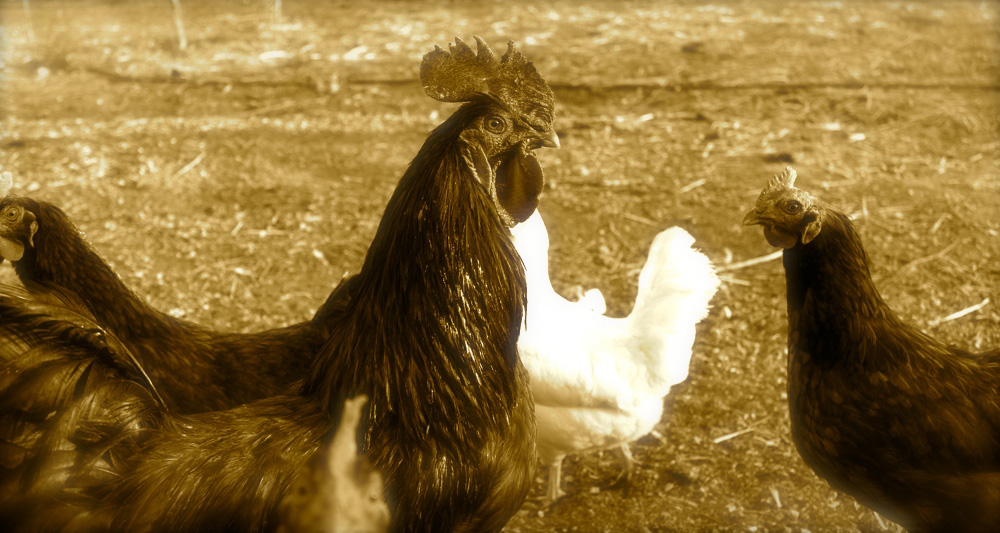 new-slider-chickens.jpg