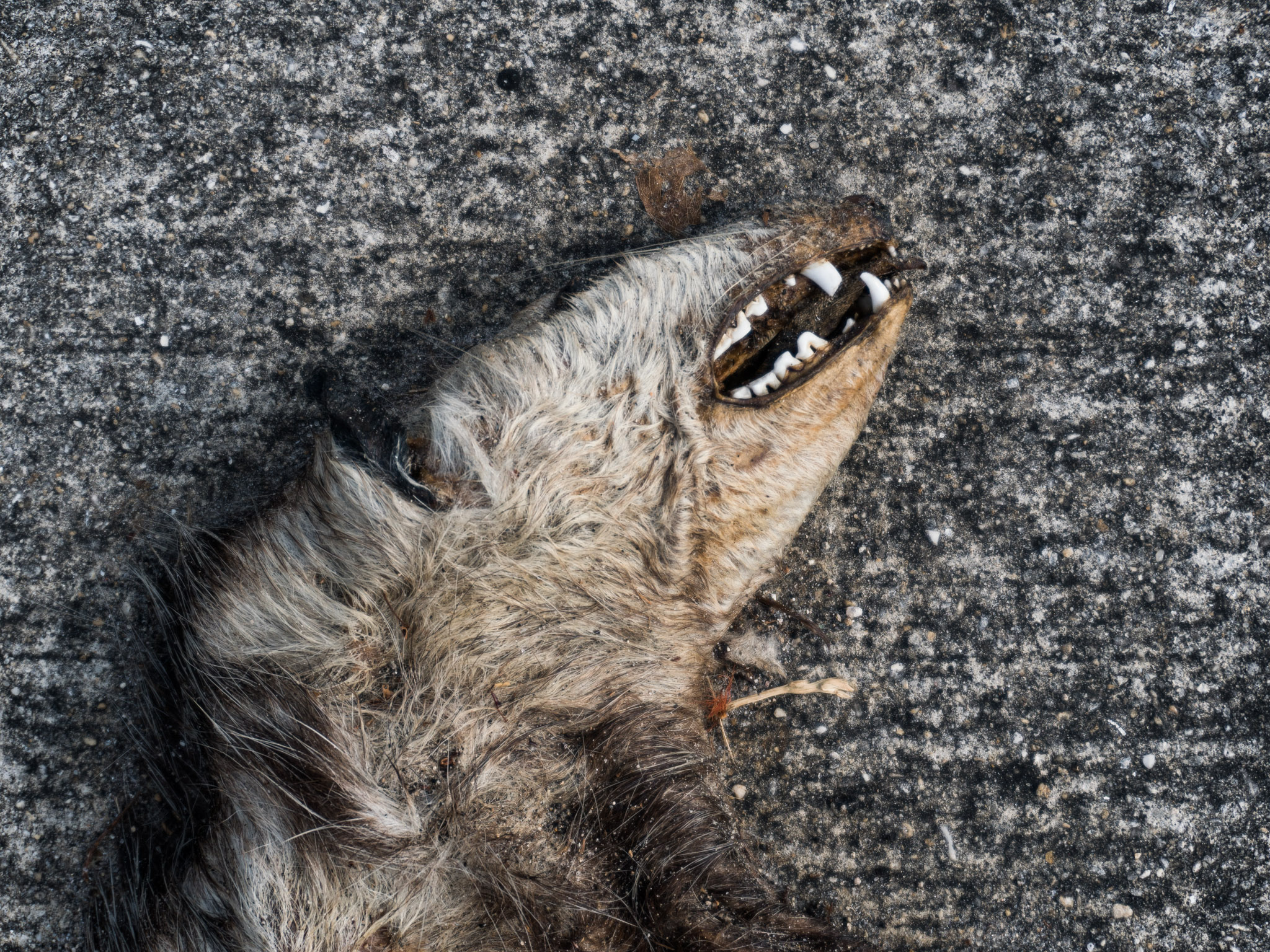 Hit and run opossum near Tamiami Airport. (Miami, FL)