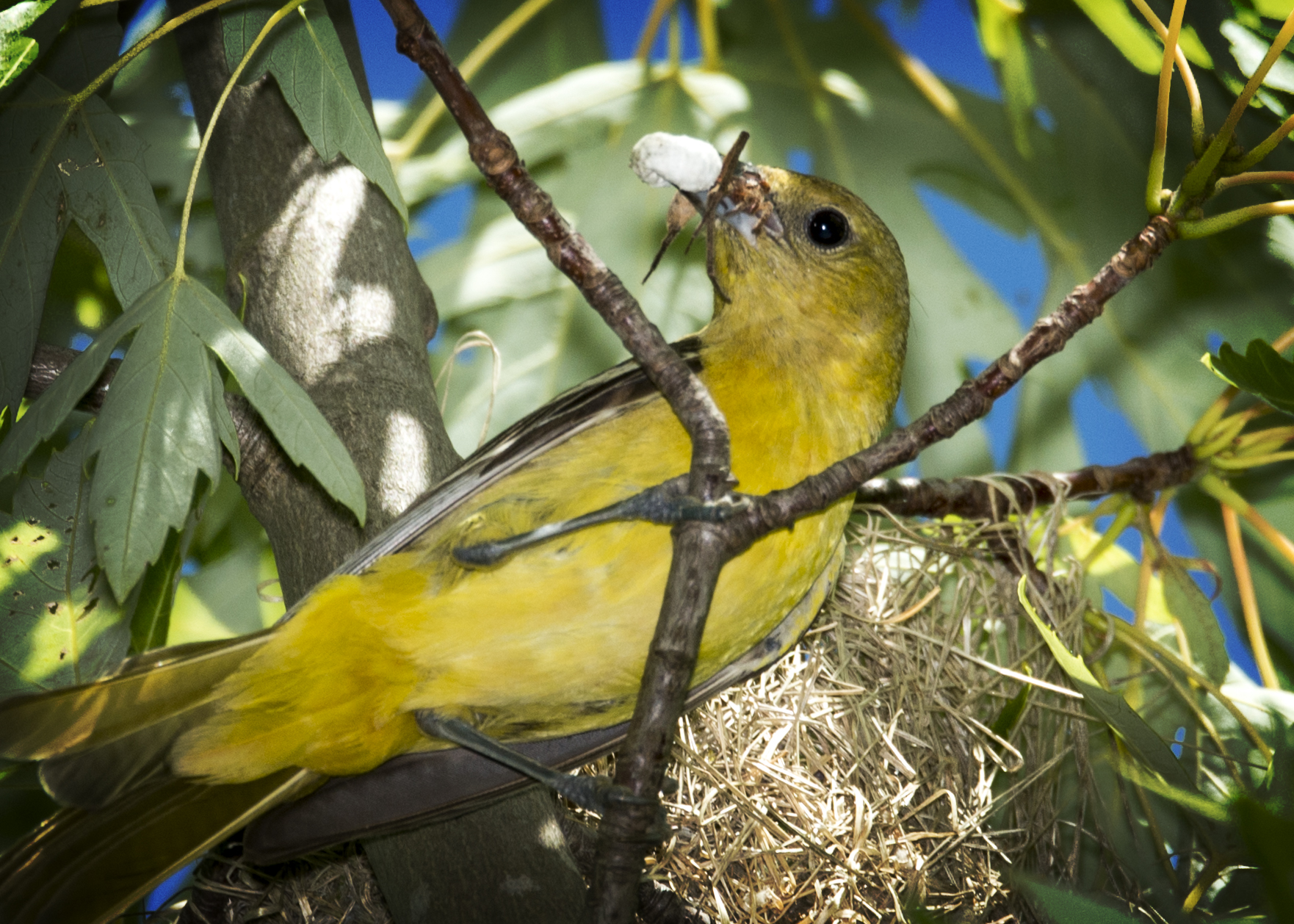The female Orchard Oriole scoping me out. She was just bringing some new insects to the nest.