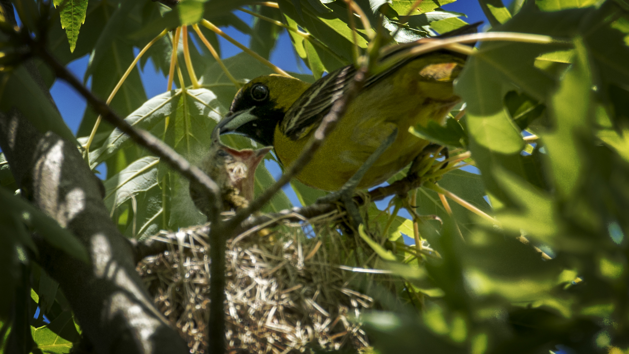 The male Orchard Oriole delivering some fresh insects to his young. There were at least two babies in this nest.