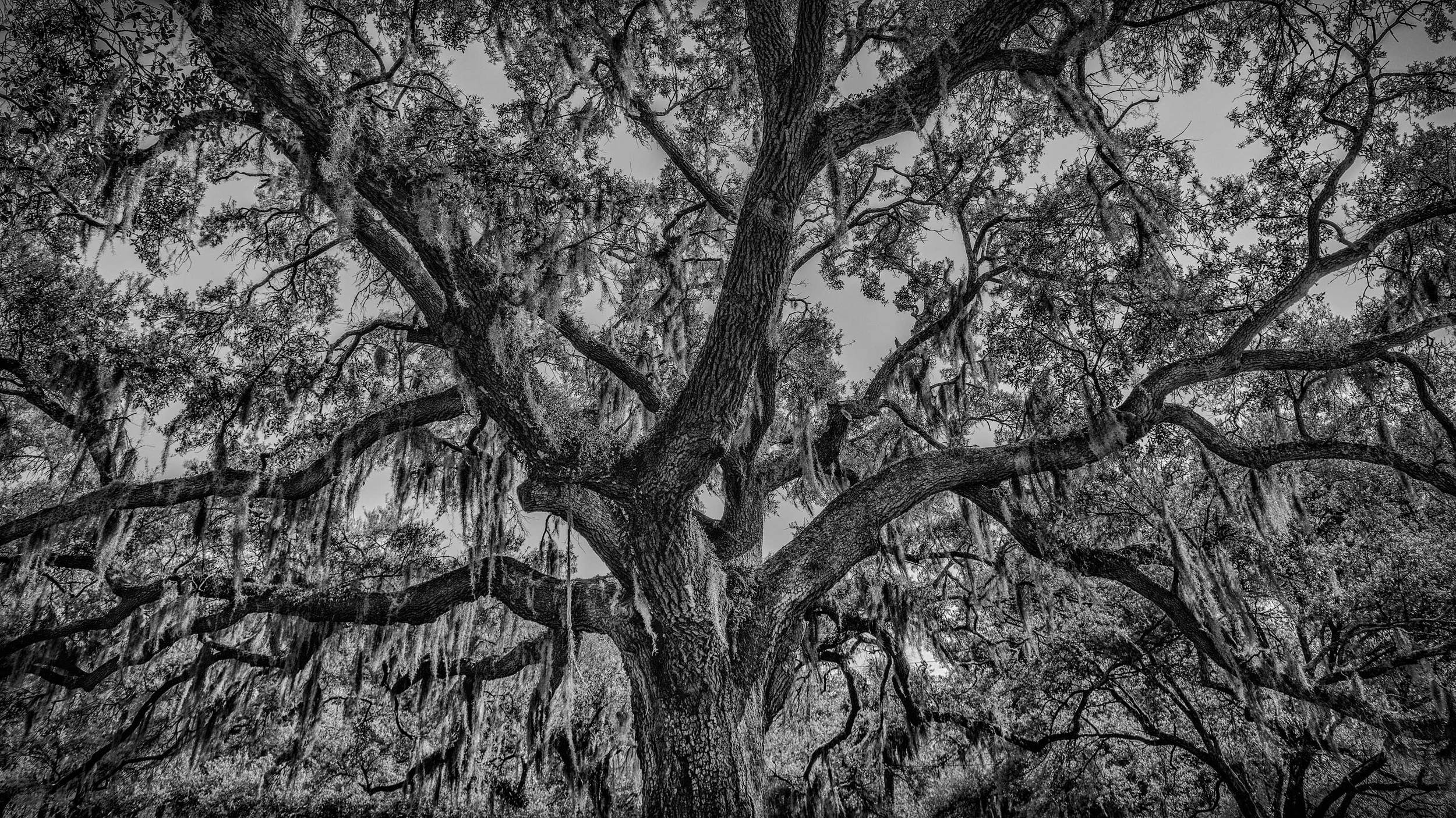 My spanish moss tree in Savannah, Georgia. This tree reminds me of the south - I love all the detail in the bark and branches!