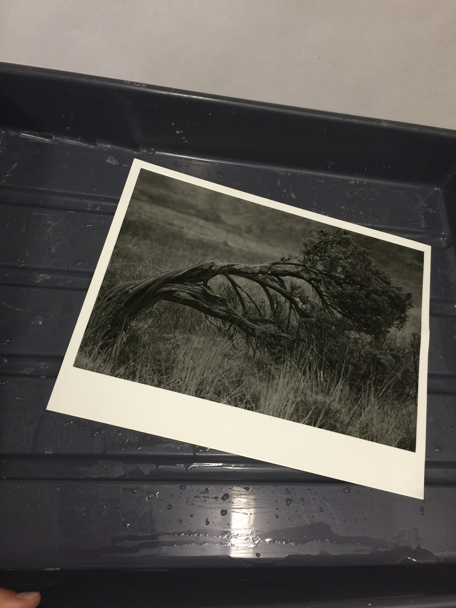 "One of my prints (this is ""Dali's Tree"") in the day and being reviewed in the daylight after developing."