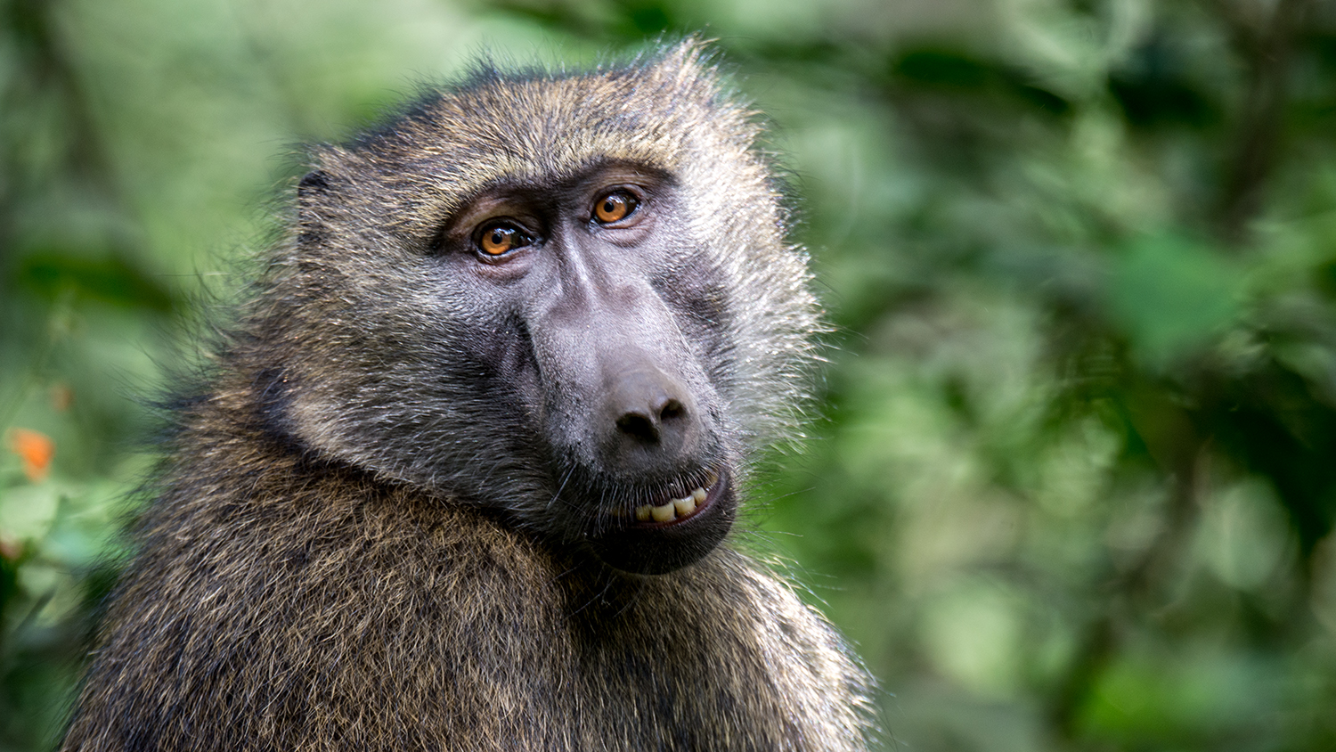 I love the big orange eyes and the smile on this baboon!