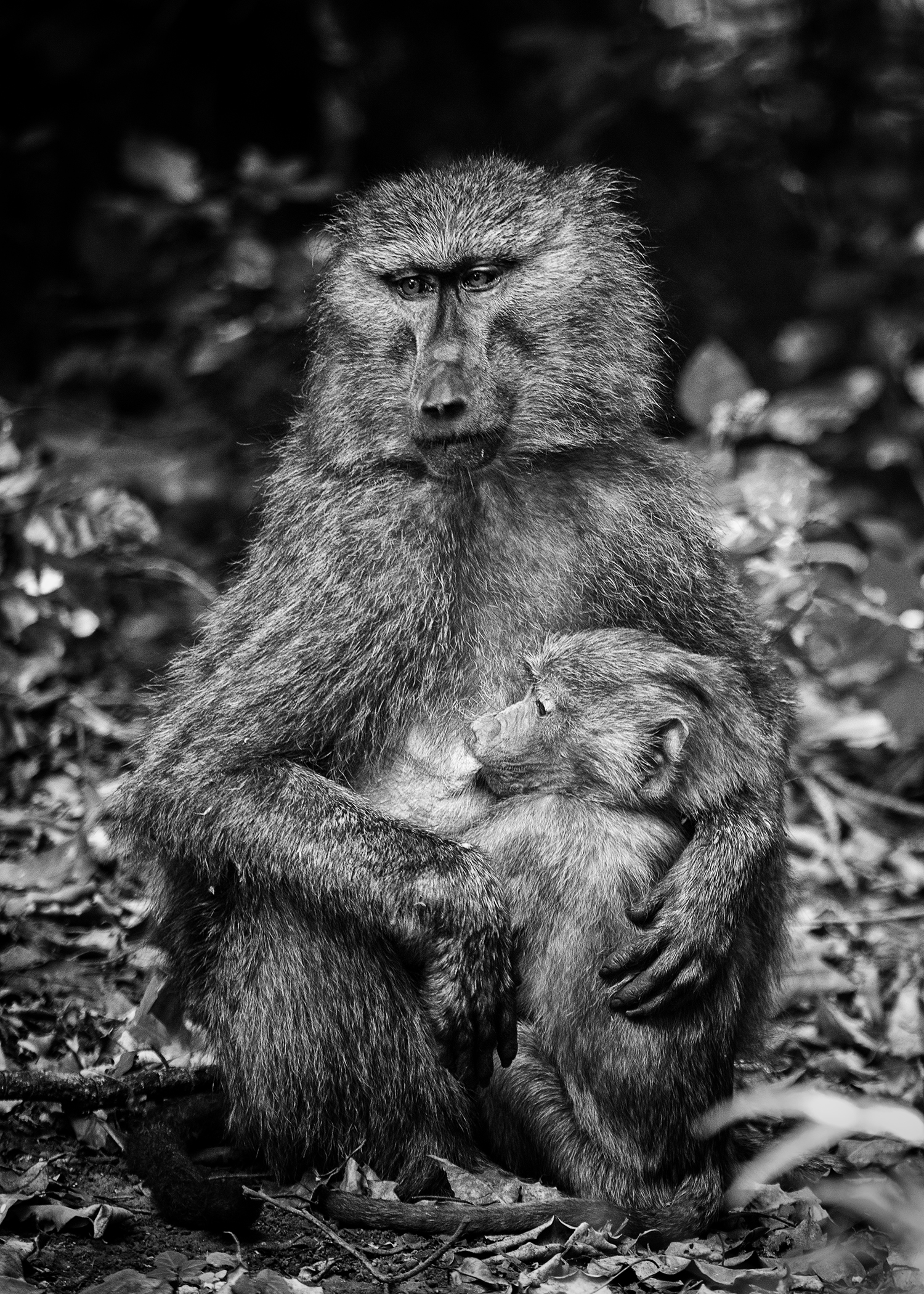 Another mother baboon breast feeding her young