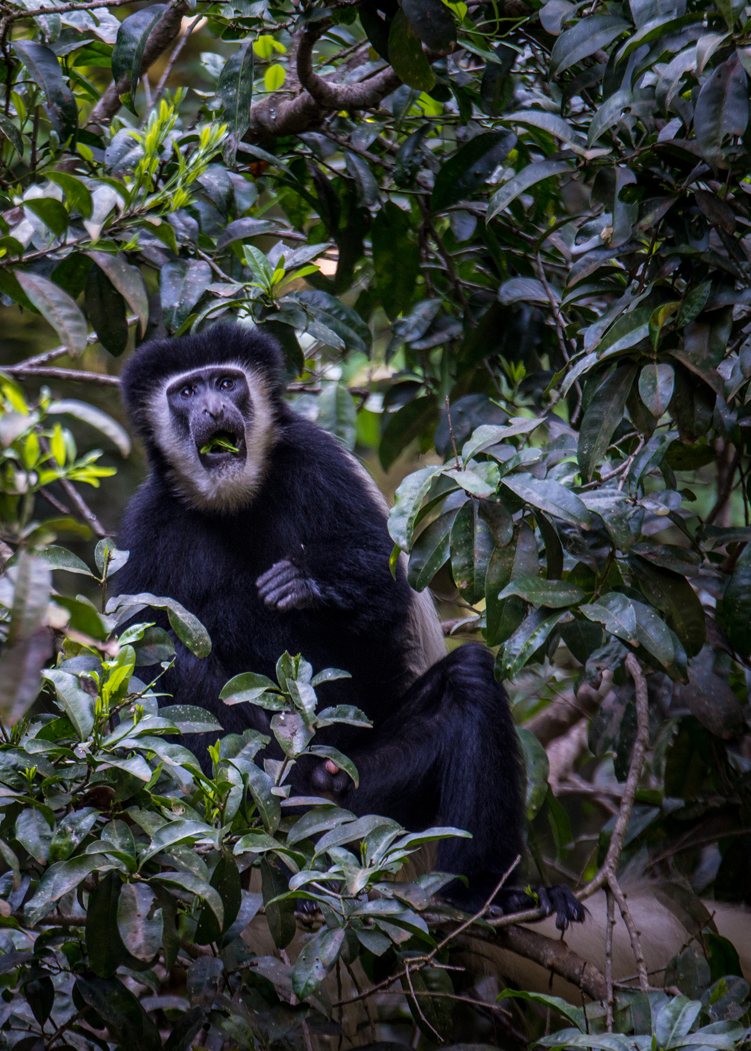 The Colobus Monkey is less common for visitors to spot, so we were very fortunate to have some cooperative monkey business to watch. The Colobus Monkey is known for being a great jumper and we witnessed our fair share of that being demonstrated.