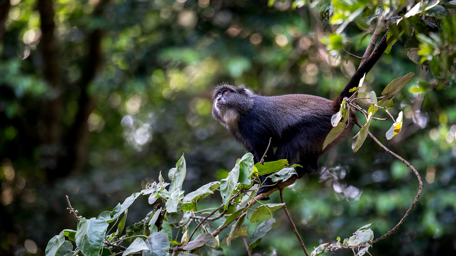 A little Sykes Monkey eyeing a branch and contemplating if he could make the jump for more leaves to nibble.