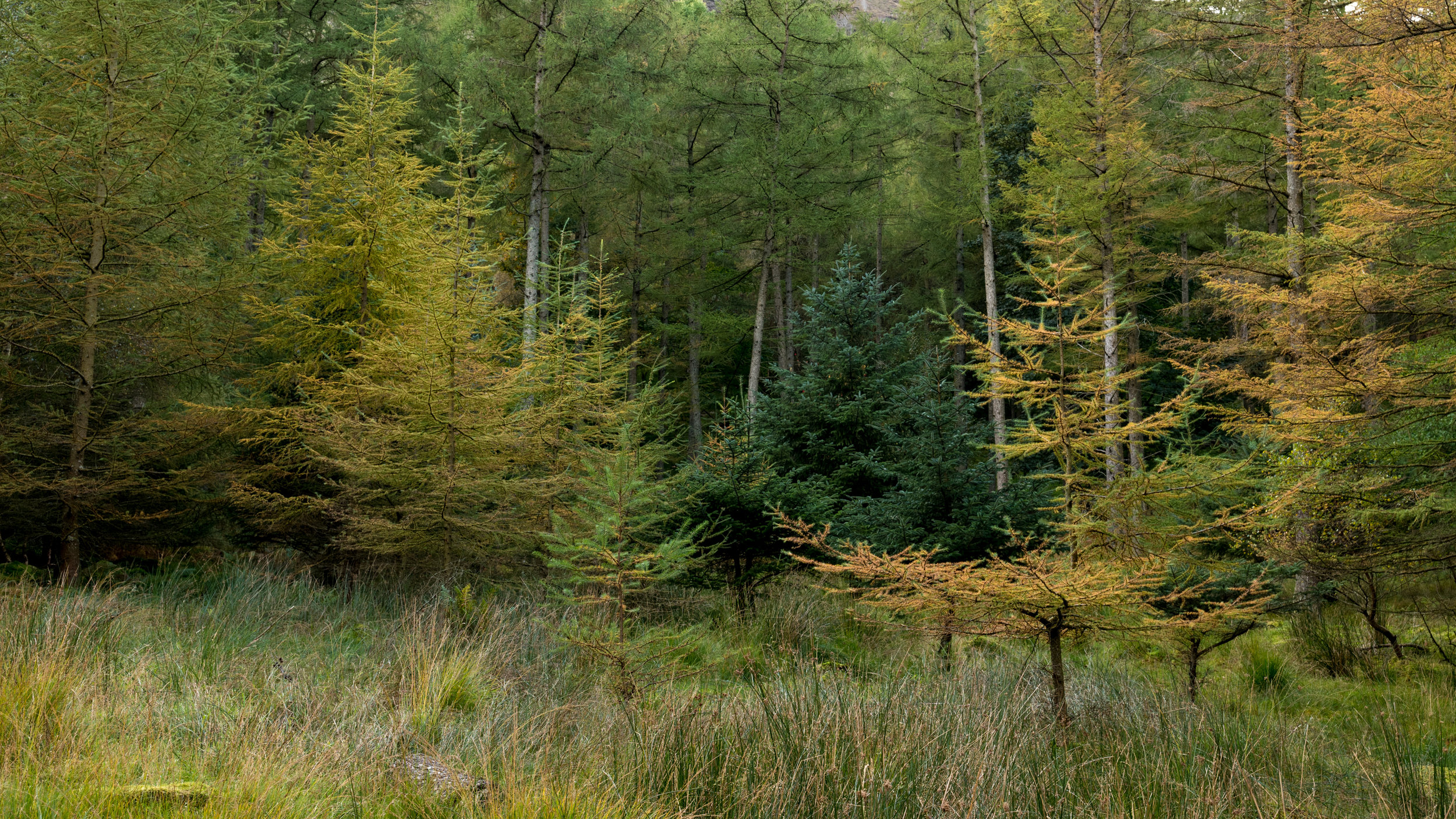 Pine trees starting to yellow on the banks of Lake Buttermere