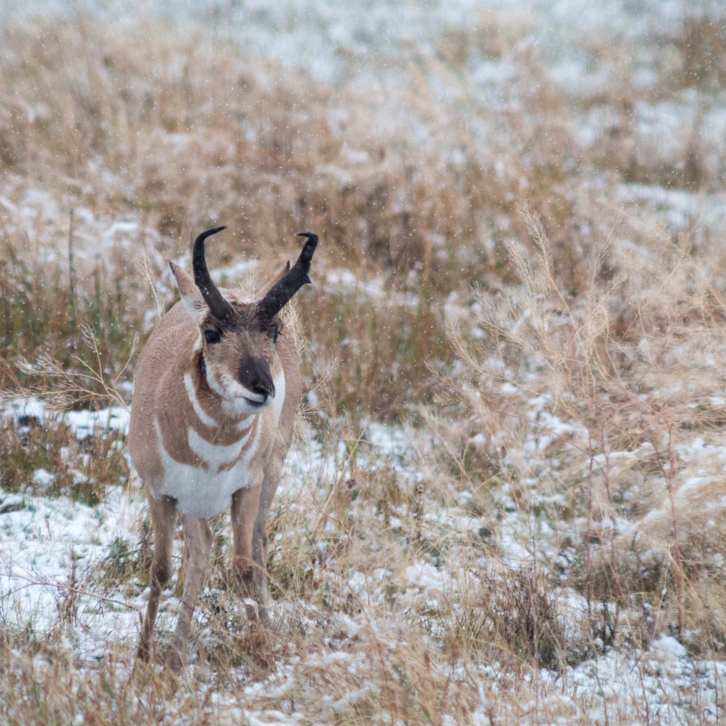Pronghorn in the snow. Leica SL with Canon 400mm f/2.8 lens