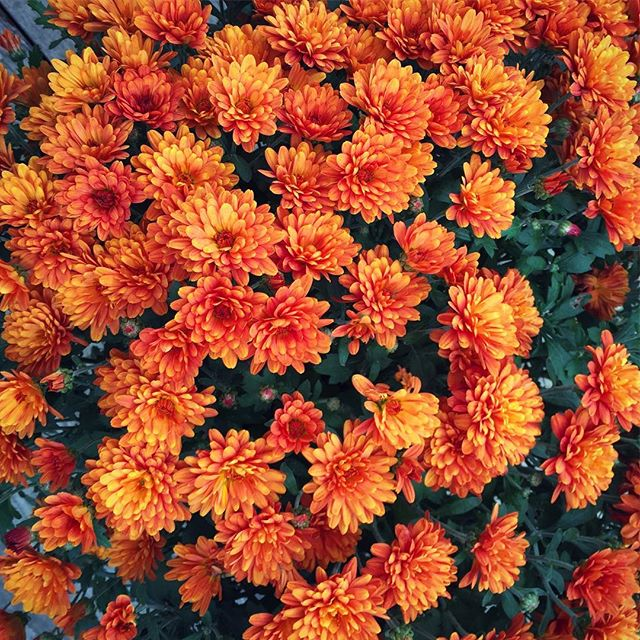 Happy Thanksgiving! These pretty flowers are from my Dad, such a great colour! 🍂🌼