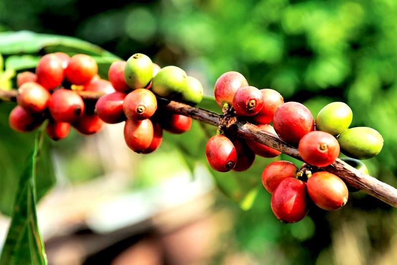 Arabica-Coffee-Beans-Chiang-Mai.jpg