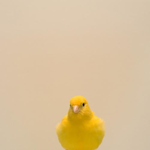 luke_stephens_yellow_canary1.jpg
