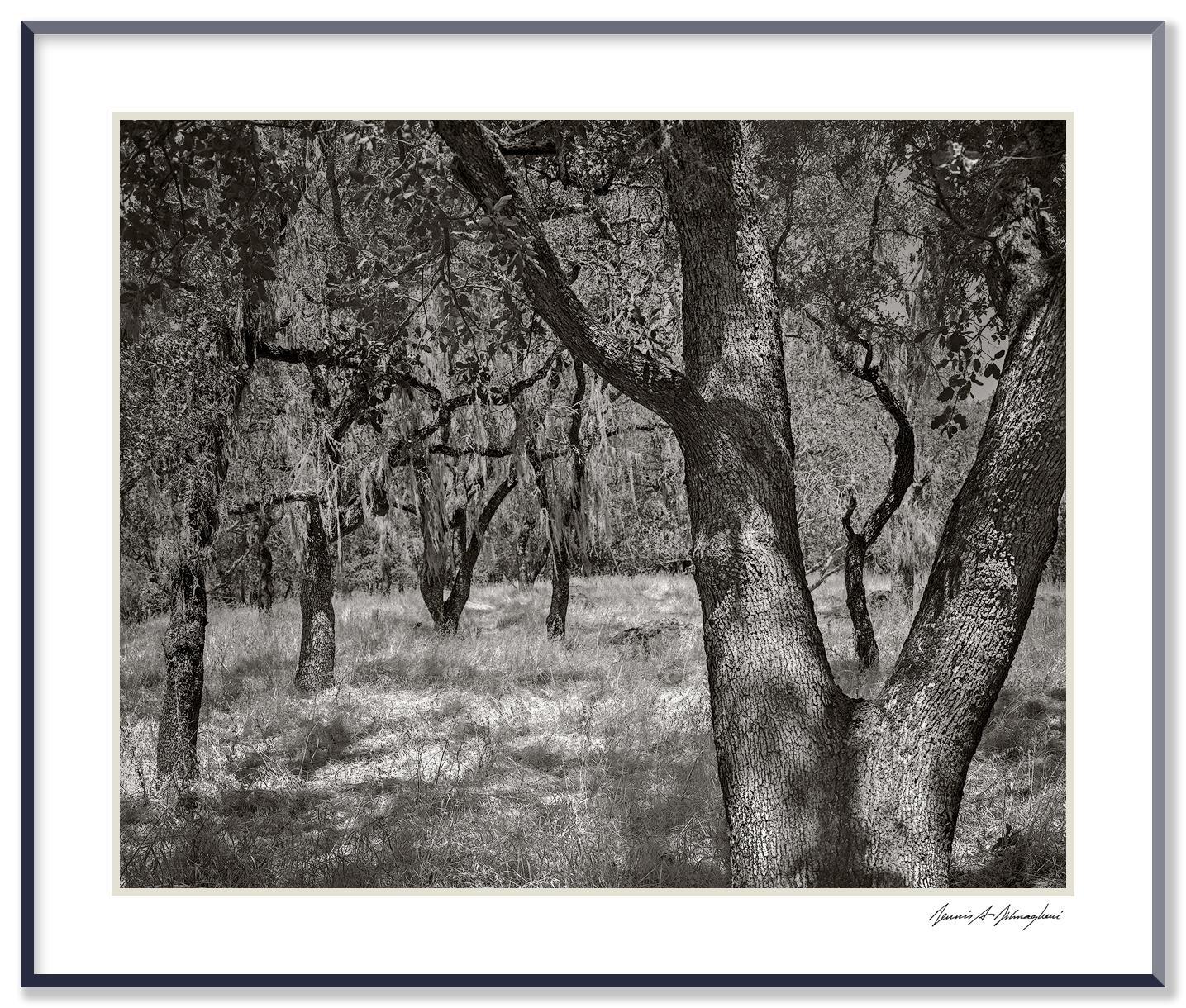 Trees - Vallejos, California