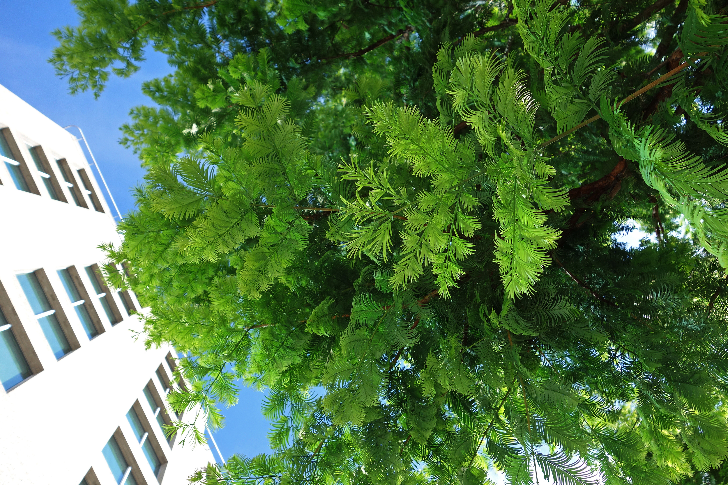 En av de spennende artene i Dronning Eufemias gate: Urtidstre ( Metasequoia glyptostroboides ). Foto: Dronninga Landskap