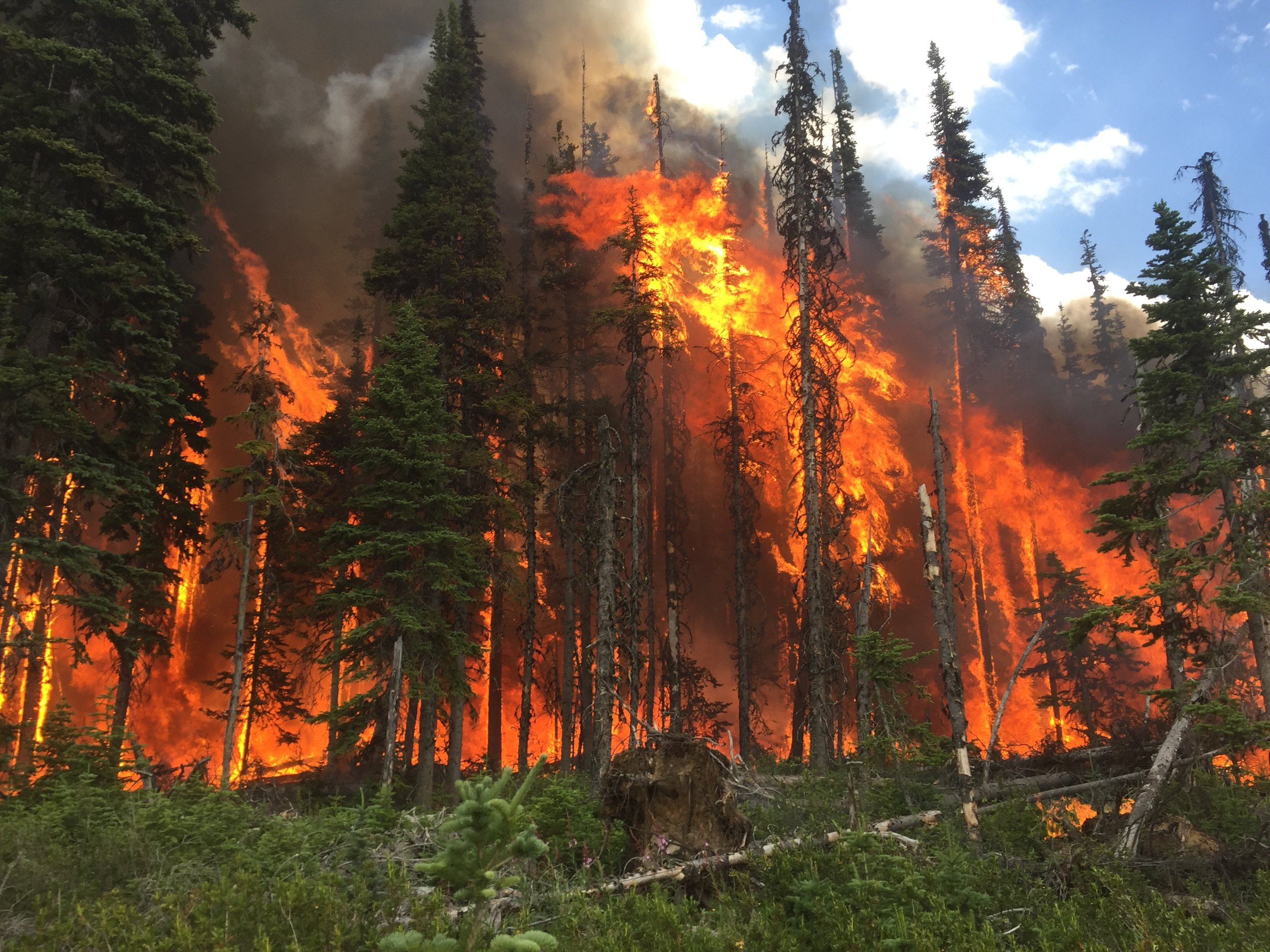 Burn off operations on a grove of coniferous trees.