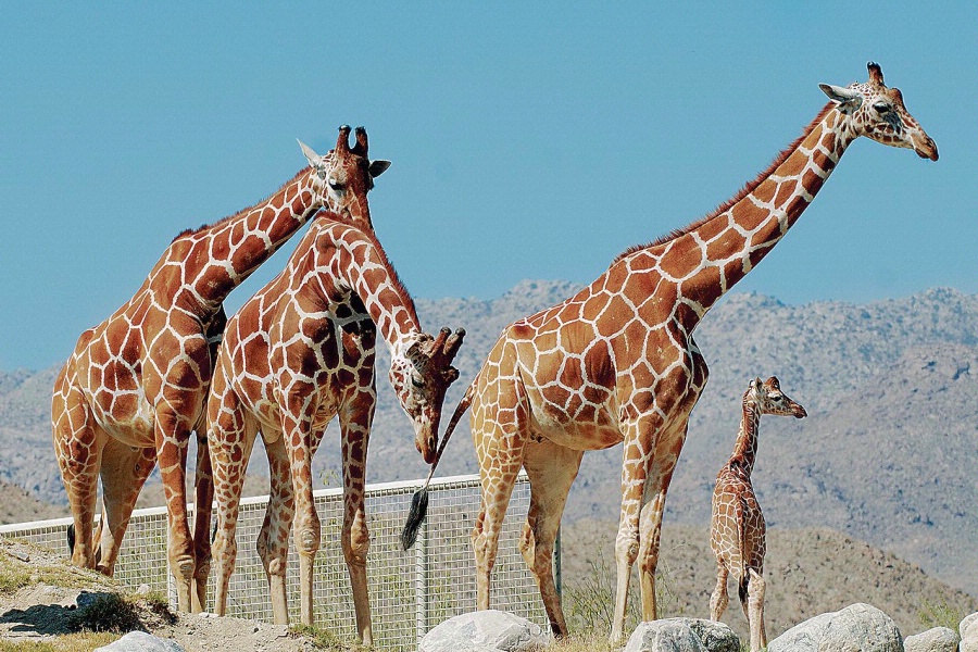 Giraffes at Living Desert
